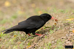 Red-billed Chough (Pyrrhocorax pyrrhocorax) (Dave 2x) Tags: food eating taiwan exotic snack taipei chough released escapee redbilledchough pyrrhocoraxpyrrhocorax pyrrhocorax redbilled leastconcern