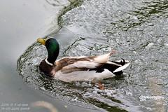 Geland (HOMCN) Tags: water amsterdam duck nest gras schiphol raaf eend vogel kikker hoen kraai fuut waterhoen kwaak waterkip sloor roek