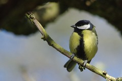 IMGP9518 Great Tit, The Lodge, Sandy, April 2016 (bobchappell55) Tags: wild bird nature tit wildlife sandy great reserve thelodge rspb