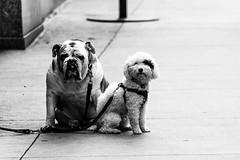 allow us to make your day... (petespande) Tags: street nyc newyorkcity blackandwhite bw dogs nikon streetphotography nikkor 70300mm nikond750