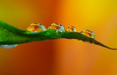 P5090497-1-2 (orrelljet) Tags: colour macro bright drop tulip droplet