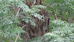 Eastern Screech-Owl - Estero Llano Grande State Park Weslaco, TX - 4/30/2016 (kdxshiryu) Tags: nature birds eastern screechowl mccalls