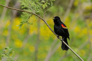 Carouge à épaulettes / Red-winged Blackbird