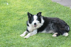 Sweet Farm Dog (zenseas : )) Tags: africa vacation dog pet holiday smile smiling collie sweet farm domestic namibia keetmanshoop herding quivertreeforest farmcollie quivertreeguesthouse