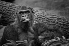 Churchill (ddimblickwinkel) Tags: africa bw white black animal zoo tiere blackwhite nikon gorilla surreal afrika sw tierpark tamron tier affen d300 einfarbig schwarzweis primaten d300s