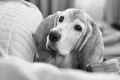 Treat?!? (dlholt) Tags: dog flickr bokeh canine sally bassethound