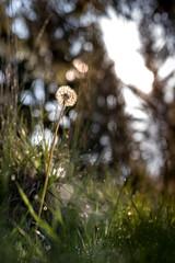 Puste (DaOpfer) Tags: morning trees sun water grass drops wasser pentax bokeh blow dandelion morgen wank tropfen k1 taraxacum pusteblume blowball taraxacumsectruderalia lwenzahn zeissplanart50mmf14
