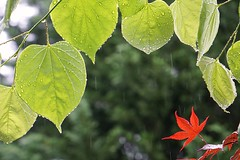 Meet in the rain (JPShen) Tags: red water leaves rain leaf maple day heart rainy raindrops shape redbud