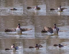 Canard branchu - Multityque (stefdenis3006) Tags: male triptyque canardbranchu aquatiques animauxoiseaux parcdesprairieslaval photostypedetraitement grandparcsetespacepublique
