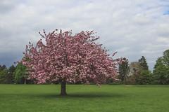 Et au milieu, pousse un cerisier (StephanExposE) Tags: cloud paris france flower tree nature fleur garden cloudy jardin sakura nuage campagne arbre iledefrance cerisier sceaux nuageux parcdesceaux exterieur stephanexpose