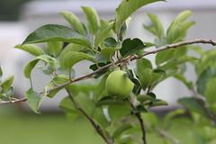 1st Granny Smith Apple on the Tree (Photos by Davida) Tags: tree apple living country smith richmond h granny