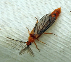 bug of the day (urtica) Tags: usa night insect ma massachusetts beetle bugoftheday carver glowworm coleoptera carverma phengodidae mylesstandishstateforest phengodes