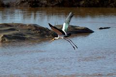 Yellow-billed Stork (leendert3) Tags: ngc yellowbilledstork coth5 sunrays5