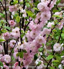 Amandelboom 2016 4 (megegj)) Tags: flower fleur garden jardin tuin blume fiore garten gert bloem