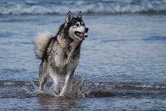Malamute/Wolf Hybrid (Xesh_Photography) Tags: dog playing beach grey husky wolf gray malamute alaskan canid