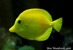 Yellow Tang (SausageArm) Tags: fish water yellow aquarium nikon marine aqua underwater tank salt salty aquatic reef reefs tang aquatics d90 18105mm