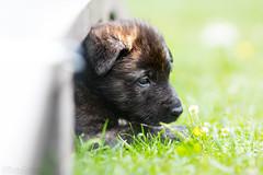 5. Woche (Maria Zielonka) Tags: hund dog hunde dogs welpe welpen puppy puppies schferhund shepherd holland hollndisch hollndischer herder herdershond hollandse vomflensburgerland aika mariazielonka fotografie photography outdoor shooting shooten