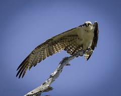 Osprey (Jeff_Joseph) Tags: blue bird animal wings nikon outdoor telephoto predator osprey d800 lightroom bolsachicaecological