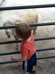 "Paul Pets a Sheep at the Kansas City Zoo • <a style=""font-size:0.8em;"" href=""http://www.flickr.com/photos/109120354@N07/27821709116/"" target=""_blank"">View on Flickr</a>"
