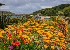 7D2L6657 (ndall) Tags: flowers landscape scilly tresco