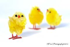 Three Chicks (Fino_graphy) Tags: chickens yellow fun humour chicks pintos