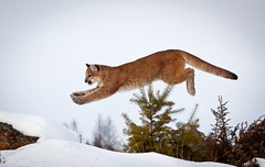 The Long Leap (Irena Portfolio) Tags: puma cougar mountainlion tripled