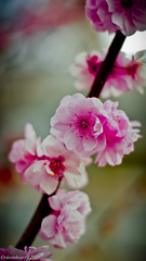 ...plum flowers (rleonheart) Tags: flowers sony plum a55 slta55v