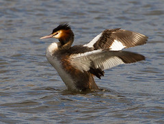 Upright Grebe (Geographyman) Tags: bird nature water wings wildlife grebe canon70300mml