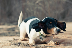 Shadow Shake (JBMarro) Tags: dog white playing black beach beagle animal puppy mammal bush sand action watching young ears brush spots shake wag bassethound bagle laying highqualitydogs