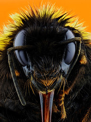 Bumble Bee (Johan J.Ingles-Le Nobel) Tags: yellow tongue insect eyes bee bumblebee bumble topaz bombus extrememacro elnikkor zerenestacker johanjingleslenobel