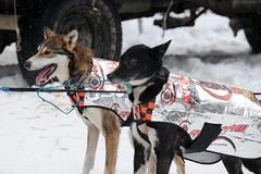 2012 Iditarod (meyerak) Tags: dog dogs alaska start ak anchorage mushing sled xl kennel 4thavenue 2012 iditarod ceremonial lastgreatrace