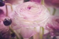 spring.greetings (Frau_Doktor) Tags: flowers flower texture spring flora fineart natur pflanzen blumen digiart makro nahaufnahme springtime farben frhling blten ranunkel texturen textur fotoart fotokunst fotobearbeitung nikond80 texturiert digitalphotoart digitalebearbeitung fraudr
