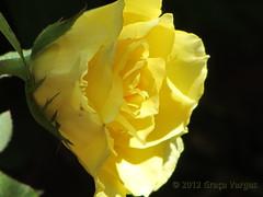 r o s e ( Graa Vargas ) Tags: flower rose rosa graavargas 2012graavargasallrightsreserved