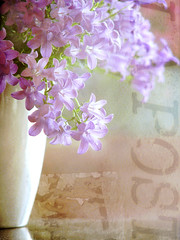 (mintukka) Tags: flowers light texture purple decoration textures vase campanula potplant iboughtsomeflowers campanulaportenslagiana