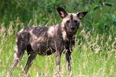Wild dog (Mister-E) Tags: africa southafrica wildlife safari krugernationalpark mpumalanga africanwilddog wilddog skukuza lycaonpictus africanhuntingdog painteddog paintedwolf