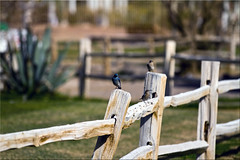 Three on a Fence (Jill Clardy) Tags: california ranch park ca blue birds creek fence golf death rail course national valley 100views split furnace hff 9852