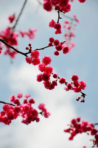 2012陽明山花季20.jpg