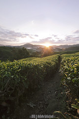 TO THE (HeSoMe CollectionS) Tags: sunrise sony alpha slt boh a77 teaestate cameronhighland sgpalas hesome