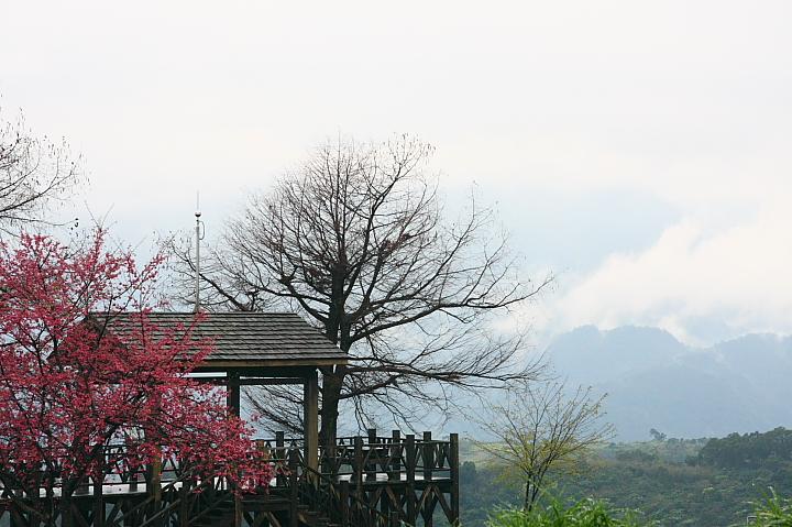 玉蘭茶園櫻花0024
