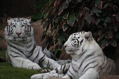 white tiger (Yangyu and Linmao) (Olaya Garcia) Tags: white blanco canon eos tiger canarias lp tenerife canary tigris tigre whitetiger loroparque panthera pantheratigris tigreblanco 1000d