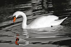 Canoe Lake, Southsea. (Sarah Marston) Tags: bw orange white lake reflection bird water swan beak hampshire portsmouth february canoelake southsea 2012 selectivecolour flickraward sonyalpha390