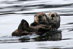Mother and Baby Sea Otters (Critter Seeker) Tags: sea nature animal alaska canon mammal outdoors rebel wildlife otter homer canonrebel seaotter t2i yukonisland mygearandme canont2i