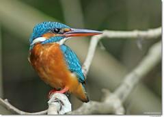 Common Kingfisher (Gurusan2010) Tags: kottayam atthis kumarakomalcedo