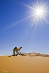 Under The Rays (TARIQ-M) Tags: sun sunlight texture sahara landscape sand waves pattern desert patterns dunes wave camel rays  camels riyadh saudiarabia   canoneos5d              dahna ef1635mmf28liiusm canoneos5dmarkii        tariqm  aldahna  tariqalmutlaq ripplesripple
