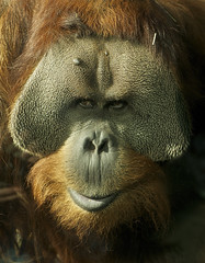 Aw come on, give me a smile (ucumari) Tags: zoo march kentucky orangutan louisville primate 2012 greatape specanimal specanimalphotooftheday ucumariphotography dsc6066