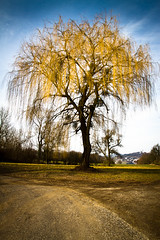 Babylon Willow (Walter Quirtmair) Tags: blue sky tree field yellow austria spring branches willow babylon peking salix babylonica
