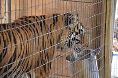 National Tiger Sanctuary - Chestnutridge, MO (Adventurer Dustin Holmes) Tags: tijger tigris tigre kaplan tigar  tygrys harimau tygr tiikeri     tiiger tigras tigru  nationaltigersanctuary   teris plng            tigr chestnutridgemissouri chestnutridgemo saddlebrookemo saddlebrookemissouri