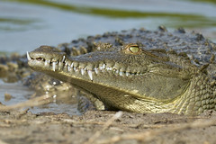 """Never Smile At A Crocodile"" (MommaD photos) Tags: park wild usa outside outdoors pond nikon florida reptile wildlife teeth flamingo jaws croc waters hunter evergladesnationalpark predator snout camouflauge shortlegs americancrocodile threatened sunningspot crocodylusacutus coth5 tnwaphotography longpowerfultail ossifiedscutes respectedcrocodileevergladesnationalparkfloridamarch2012birds"