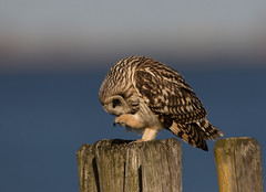 Short-eared Owl hunting @  coast, Netherlands. (Richard Verroen) Tags: sunset bird netherlands birds coast zonsondergang nederland owl owls birdsofprey birdofprey vogel asio kust uil roofvogel shortearedowl asioflammeus uilen flammeus velduil verroen richardverroen