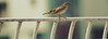 Beautiful bird on a beautiful day! (Naina Hussain) Tags: bird photography balcony pakhi choroi